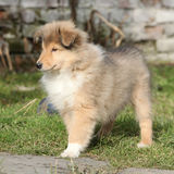 Gorgeous puppy of Scotch collie in the garden Stock Photos