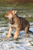 Gorgeous puppy of wolfdog in winter. Gorgeous puppy of wolfdog on some snow in winter Stock Photos