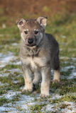 Gorgeous puppy of wolfdog in winter. Gorgeous puppy of wolfdog on some snow in winter Royalty Free Stock Photography