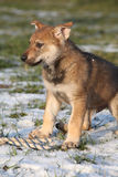 Gorgeous puppy of wolfdog in winter Royalty Free Stock Photography