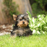 Gorgeous puppy of Yorkshire terrier in the garden Royalty Free Stock Photos