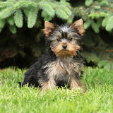 Gorgeous puppy of Yorkshire terrier in the garden Royalty Free Stock Image