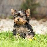 Gorgeous puppy of Yorkshire terrier in the garden Royalty Free Stock Images
