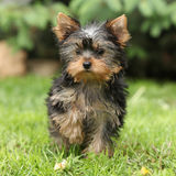 Gorgeous puppy of Yorkshire terrier in the garden Stock Photo