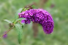A gorgeous purple Buddleya sings a sweet summer song. Purple Buddleya on an isolated background royalty free stock images