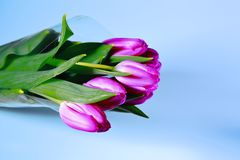 Gorgeous purple tulips bouquet isolated close up view. Blue, grean and purple beautiful backgroun stock image