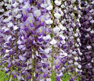 Purple wisteria flowers bloom in May. Gorgeous purple wisteria flowers in full bloom on an arbor in a garden Stock Photos