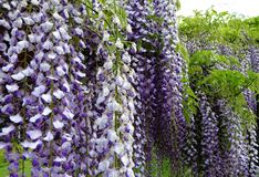 Purple wisteria flowers bloom in May. Gorgeous purple wisteria flowers in full bloom on an arbor in a garden Stock Photo