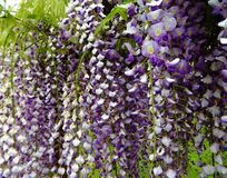 Purple wisteria flowers bloom in May. Gorgeous purple wisteria flowers in full bloom on an arbor in a garden Stock Image