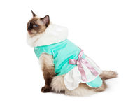 Free Gorgeous Ragdoll Cat Sitting In Pretty Dress With Pink Bow Royalty Free Stock Photos - 45958418
