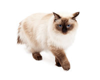 Gorgeous Ragdoll Cat Walking Stock Photography