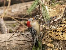A gorgeous red-bellied woodpecker in the forest. stock photos