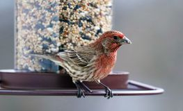Gorgeous red colorful bird eating seeds from a bird seed feeder during summer in Michigan. Pretty avian with yellow, grey, white and black Stock Photography