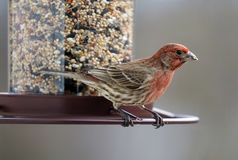Gorgeous red colorful bird eating seeds from a bird seed feeder during summer in Michigan. Pretty avian with yellow, grey, white and black Stock Photo