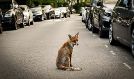 Red fox on a road in London royalty free stock photo