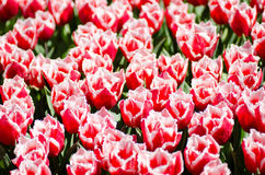 Gorgeous red fringed tulips on spring fields Stock Images