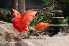 Gorgeous red ibis opens wings Stock Images