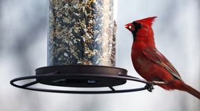 Gorgeous Red northern cardinal colorful bird eating seeds from a bird seed feeder during summer in Michigan. Pretty avian with yellow, grey, white and black Stock Images