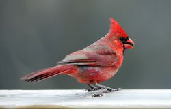 Gorgeous Red northern cardinal colorful bird eating seeds from a bird seed feeder during summer in Michigan. Pretty avian with yellow, grey, white and black royalty free stock images