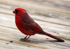Gorgeous Red northern cardinal colorful bird eating seeds from a bird seed feeder during summer in Michigan. Pretty avian with yellow, grey, white and black royalty free stock photo