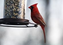 Gorgeous Red northern cardinal colorful bird eating seeds from a bird seed feeder during summer in Michigan. Pretty avian with yellow, grey, white and black Stock Photos
