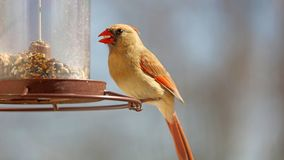 Gorgeous Female Red northern cardinal colorful bird eating seeds from a bird seed feeder during summer in Michigan. Gorgeous Red northern cardinal colorful bird stock photos
