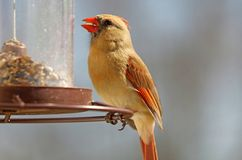 Gorgeous Female Red northern cardinal colorful bird eating seeds from a bird seed feeder during summer in Michigan. Gorgeous Red northern cardinal colorful bird stock images