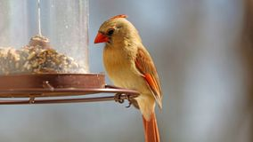 Gorgeous Female Red northern cardinal colorful bird eating seeds from a bird seed feeder during summer in Michigan. Gorgeous Red northern cardinal colorful bird royalty free stock images