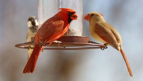 Gorgeous Couple of Red northern cardinal and sparrow colorful bird eating seeds from a bird seed feeder during summer in Michigan. Gorgeous Red northern cardinal stock photos