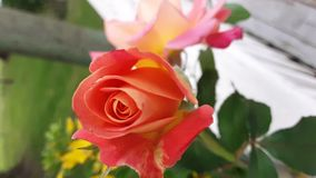 Gorgeous red rose and blurred pink rose stock photography