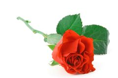 Gorgeous red rose on white Royalty Free Stock Photos