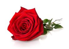 Gorgeous red rose on white Royalty Free Stock Photography
