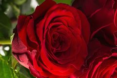 Gorgeous red roses close up view isolated. Beautiful backgrounds. Red Roses backgrounds. Valentine day backgrounds.  royalty free stock images