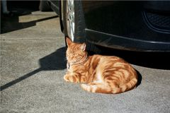 Gorgeous red tabby ginger cat basking in the sun in front of a car in a driveway. Adorable red ginger cat taking a peaceful sunny nap on a concrete driveway in stock photo
