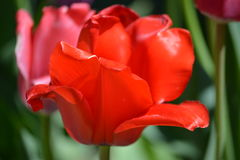 Gorgeous red tulips in bloom Stock Photography
