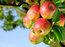 Gorgeous ripe apples on a branch stock images