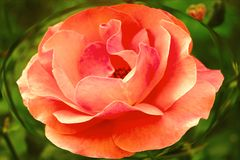 Gorgeous rose in ellipse on green background! royalty free stock images