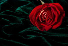 Gorgeous rosebud on the dark green velor Royalty Free Stock Photos