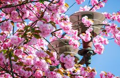 Gorgeous sakura flowers on a blue sky background. Gorgeous sakura flowers around the lantern on a blue sky background. lovely springtime scenery in the park Stock Photography