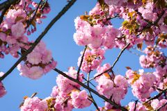 Gorgeous sakura flowers on a blue sky background. Lovely springtime scenery in the park Stock Photography