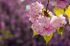 Gorgeous sakura flowers on a purple background. Lovely springtime scenery in the park Royalty Free Stock Photography