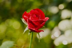 Gorgeous scarlet rose Red star with raindrops or dew on the delicate petals. Green blurred background of leaves royalty free stock image