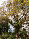 A Gorgeous and Scenic and magnificent Tree with Lots of Detail i Stock Image