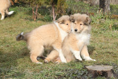 Gorgeous Scotch Collie puppies Stock Images