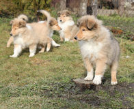 Gorgeous Scotch Collie puppies Stock Photo