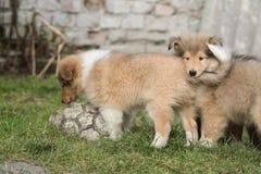 Gorgeous Scotch Collie puppies Stock Photos