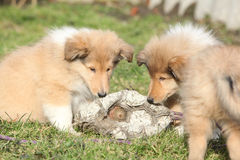 Gorgeous Scotch Collie puppies Royalty Free Stock Photo