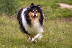 Gorgeous Scottisch or Scotch, Rough Collie at play royalty free stock photography