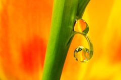 Two Drops of Tulips. Gorgeous shades of yellow, orange, and green fill this shot of two small water drops and the sharp diffraction of tulips behind them Royalty Free Stock Photos