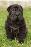 Gorgeous Shar Pei puppy sitting Stock Photography